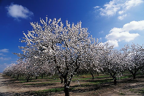 image 8-185-22 California, Modesto, Almond orchard in bloom