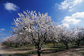 crop stock photography | California, Modesto, Almond orchard in bloom, image id 8-185-22