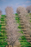 repetition stock photography | California, Modesto, Almond orchard in bloom, image id 8-188-8