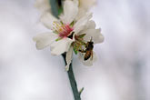 new growth stock photography | California, Modesto, Almond blossom and bee, image id 8-189-1