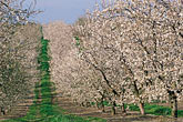 in a row stock photography | California, Modesto, Almond orchard in bloom, image id 8-190-7