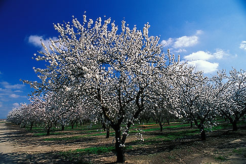 image 8-191-1 California, Modesto, Almond orchard in bloom