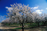 white stock photography | California, Modesto, Almond orchard in bloom, image id 8-191-1
