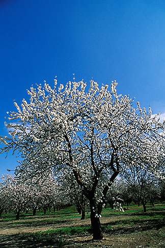 image 8-191-3 California, Modesto, Almond orchard in bloom