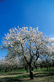 crop stock photography | California, Modesto, Almond orchard in bloom, image id 8-191-3