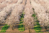 in a row stock photography | California, Modesto, Almond orchard in bloom, image id 8-192-5