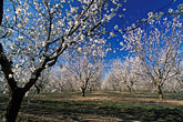 white stock photography | California, Modesto, Almond orchard in bloom, image id 8-193-13