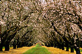 white stock photography | California, Modesto, Almond orchard in bloom, image id 8-194-25
