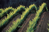 green stock photography | California, Sonoma County, Vineyards, Russian River, image id 8-391-25
