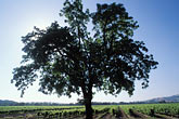 alexander valley stock photography | California, Sonoma County, Oak and vineyards, Alexander Valley, image id 8-394-1