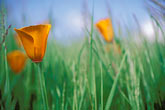 foliage stock photography | California, East Bay Parks, California Poppies (Eschscholzia Californica), image id 8-501-3