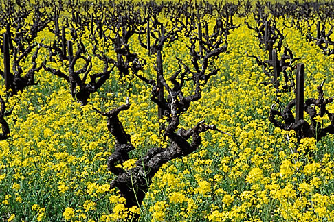image 9-155-10 California, Napa County, Vineyards and mustard flowers