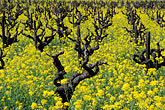 grapevine stock photography | California, Napa County, Vineyards and mustard flowers, image id 9-155-10