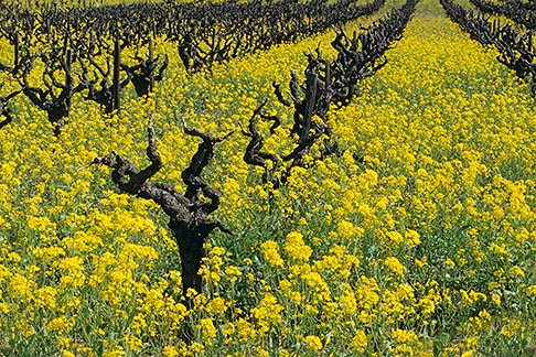 image 9-155-2 California, Napa County, Vineyards and mustard flowers