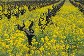 grapevine stock photography | California, Napa County, Vineyards and mustard flowers, image id 9-155-2