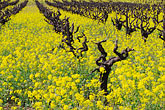 grapevines stock photography | California, Napa County, Vineyards and mustard flowers, image id 9-155-3