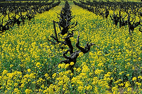 image 9-159-20 California, Napa County, Vineyards and mustard flowers