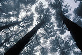 blue sky stock photography | California, East Bay Parks, Pine forest in mist, Tilden Park, image id 9-5-12