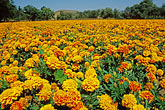 field of marigolds stock photography | California, San Luis Obispo, Field of marigolds, image id 9-551-1