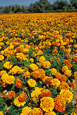 field of marigolds stock photography | California, San Luis Obispo, Field of marigolds, image id 9-551-4