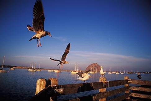 image 9-609-23 California, San Luis Obispo County, Seagulls, Morro Bay