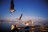 morro bay harbor stock photography | California, San Luis Obispo County, Seagulls, Morro Bay, image id 9-609-23