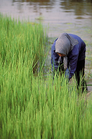 image 0-401-97 Cambodia, Siem Reap, Rice harvest