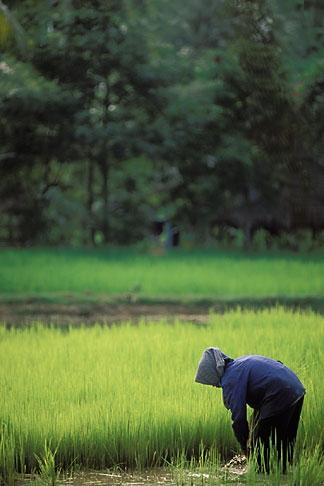image 0-401-98 Cambodia, Siem Reap, Rice harvest