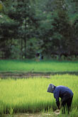 green stock photography | Cambodia, Siem Reap, Rice harvest, image id 0-401-98