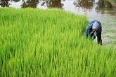 green stock photography | Cambodia, Rice harvest, image id 0-402-6