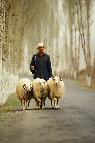 image 4-134-10 China, Gansu Province, Shepherd and sheep near Lanzhou