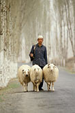 three people only stock photography | China, Gansu Province, Shepherd and sheep, image id 4-134-11
