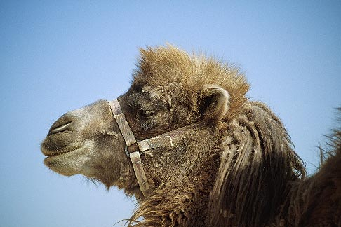 image 4-149-27 China, Turpan, Camel at ancient city of Gaochang