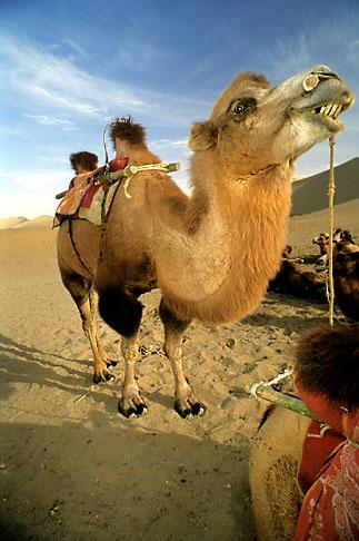 image 4-385-24 China, Dunhuang, Camels, Mingsha sand dunes