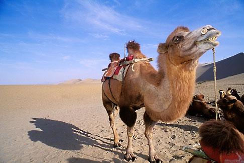 image 4-385-92 China, Dunhuang, Camels, Mingsha sand dunes