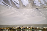 horizontal stock photography | China, Pamirs, Sheep grazing by lakeside, image id 4-434-19