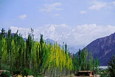 summit stock photography | China, Pamirs, Birch trees beneath Kongur, image id 4-436-18
