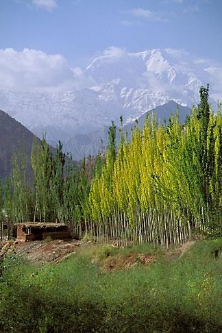 image 4-436-21 China, Pamirs, Birch trees beneath Kongur