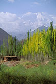 snow capped stock photography | China, Pamirs, Birch trees beneath Kongur, image id 4-436-21
