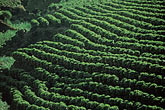 plantation stock photography | Costa Rica, Alajuela, Coffee plantation, image id 8-444-14