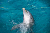 animal trick stock photography | Cura�ao, Willemstad, Dolphin Academy, Cura�ao Sea Aquarium, image id 3-432-2