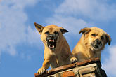 threaten stock photography | Dogs, Guard Dogs, image id 4-291-31