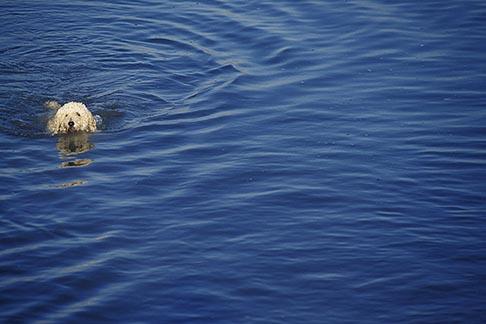 image 8-390-94 California, Poodle swimming