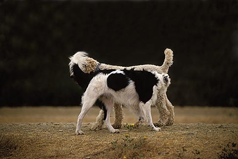 image 9-450-11 Dogs, Snowy, a male white standard poodle