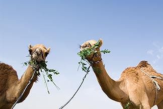 8-730-364  stock photo of United Arab Emirates, Dubai, Two camels eating greens, low angle view