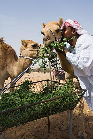 image 8-730-383 United Arab Emirates, Dubai, Camels with camel keeper