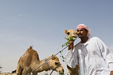 funny stock photography | United Arab Emirates, Dubai, Camelkeeper with camels, image id 8-730-393