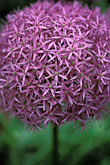 the walled garden stock photography | England, Chelsea Flower Show, Allium Globemaster, The Walled Garden, McKelvey Wise Garden Design, image id 3-750-39