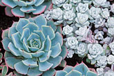 horizontal stock photography | Flowers, Echeveria elegans,  �Hen and Chicks� succulent plant, image id 3-750-4