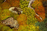 mossy stock photography | England, Chelsea Flower Show, Burns Garden, variety of Callunas, image id 3-753-23